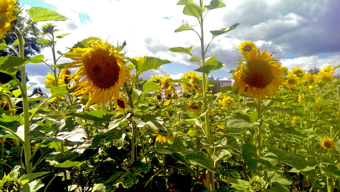 2014-08-24-Sonnenblumen