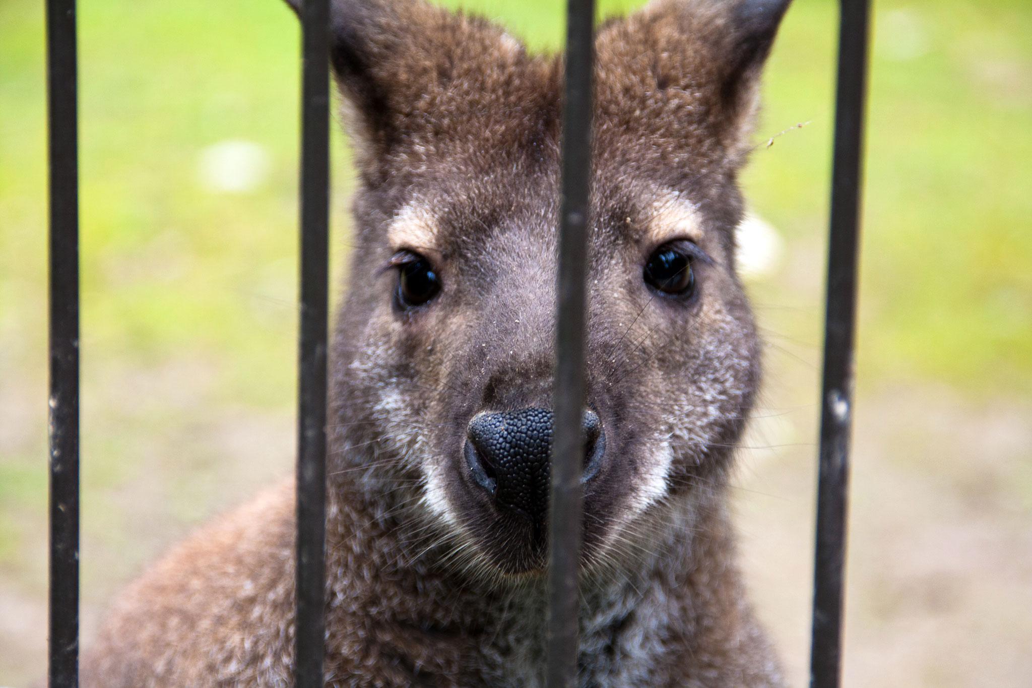 2015-06-Känguru